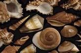 Deniz kabukları deniz kabukları sedefli uzay kabuğu deniz
