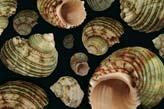 Tas001 deniz kabukları deniz kabukları sedefli uzay kabuğu